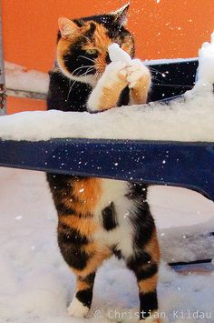 A cat prepares his snowball.