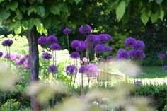 landscape gardeners leeds allium flowers on terrace with pleached trees Outdoor Dining, Dining Area, Indoor Outdoor, Allium Flowers, Dutch Gardens, Garden Landscaping, Outdoor Gardens, Beautiful Flowers, Jo Loves