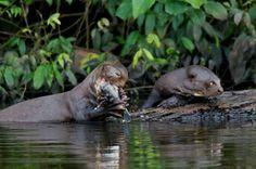 Endangered Giant Otters photographed by Jeff Cremer near the Posada Amazonas Lodge - A community owned & Rainforest Alliance verified lodge near Puerto Maldonado, Peru.  http://tourthetropics.com/south-america/amazon-rainforest/peru/puerto-maldonado/tours/posada-amazonas-lodge/  #travel #tours #photography #conservation #wildlifephotography #nature #animals #mammals #cute
