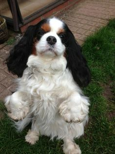 @olliekingdog @kworsley42 Hello Ollie lufferly to follow such a handsome chap. This Is my Cav Queen Gwen ! Woofs xx