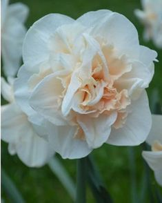 5 PINK CHAMPAIGNE DAFFODIL bulbs 12-14cm + free gift  SHIPS NOW!