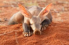 Aardvarks are underappreciated too. Wanna play? http://ift.tt/2C0zNJz