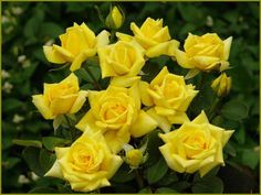 yellow roses... <3