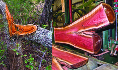 """Two pictures of Pink Ivory logs- To the left is a Pink Ivory tree that was pushed over by an elephant. Since this log came down by way of """"natural causes"""" Rick was allowed to purchase it. To the right is one of those """"annoying logs"""" being cut on our mill. (The elephant might have found it a nuisance but we sure enjoyed it!!)"""