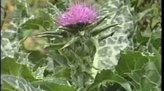 Edible & Medicinal Herbs 2 - Part 2 from herbaltransitions.com - YouTube