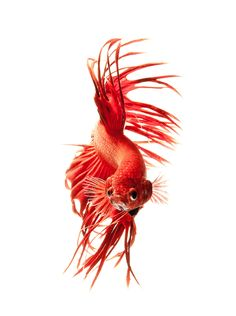 Photograph red betta by visarute angkatavanich on 500px