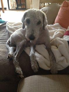 Bedlington terrier, Bambi, bij de trimster geweest...