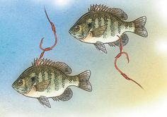 Flathead Catfish Rigs | 25 Best Catfish Rigs Images On Pinterest Catfish Rigs Fishing