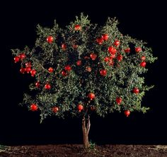 The pomegranate tree represents Hassan and Amir's friendship. The two used to walk up a hill and sit under a pomegranate tree when they were children. Persephone, Tree Photography, Landscape Photography, Colour Photography, Art Fund, Tree Logos, Wood Tree, Victoria And Albert Museum, Small Trees