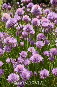 Chives - Monrovia - Chives