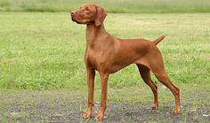 Vizsla Dog Breed Information