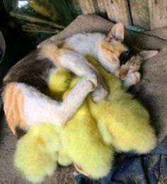 Mother cat takes in ducklings.