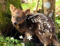 This is a precious baby pudu! They are native to Argentina and the smallest deer in the world! I want it!!