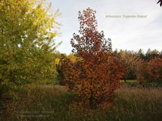 Arboretum Trojanów PolandLiquidambar styraciflua Ambrowiec