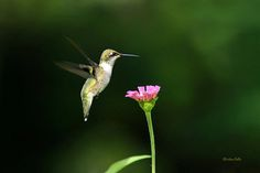 One Hummingbird Print by Christina Rollo.  All prints are professionally printed, packaged, and shipped within 3 - 4 business days. Choose from multiple sizes and hundreds of frame and mat options.