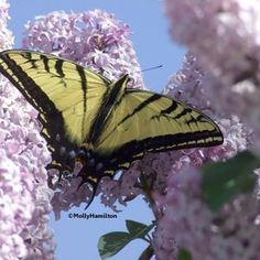 Western Tiger Swallowtails use the following for host plants: cottonwood (Populus) tree, aspen (Populus) tree, willows (Salix), wild cherry (Prunus), and ash (Fraxinus) tree