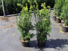 Taxus media 'Hicksii' in pot (50-60cm)