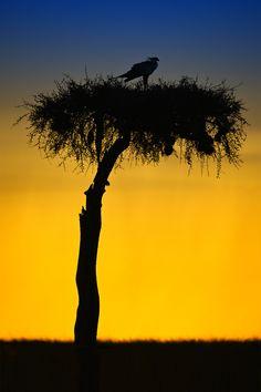 "Secretary bird silhouette sunset"" by Marc MOL"