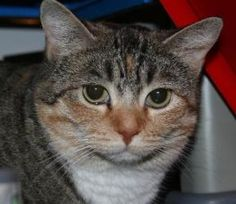 Colbie Carrington is an adoptable Torbie Cat in Washington, DC. Fosters make it possible for Lucky Dog Animal Rescue to save and care for homeless and abandoned dogs and cats! To learn about fosterin...