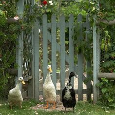 Paint the fence and gate  I love the colour and the ducks!