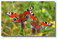 Butterflies of Scotland - Peacock Peacock Butterfly, Beautiful Butterflies, Insects, Fancy, Dragonflies, Notes, Ink, Spaces, Search