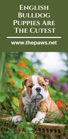 If you wanna have a good mood for all day, you must see these cute photos of English Bulldog puppies? English Bulldog Puppies, English Bulldogs, Cute Bulldogs, Take A Nap, Cute Photos, Good Mood, Cute Puppies, Pets, Friends