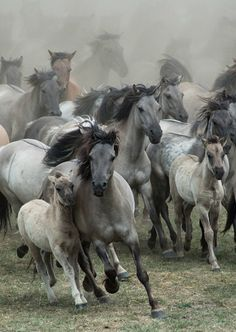 by Karen van Gerner A group of wild horses galloping right in my direction. Location: Germany, Dülmen