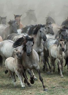 Wild Horses by Karen van Gerner    Location: Dülmen, Germany