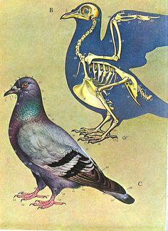 Birds 1972 Encyclopedia Print by ninainflorida, via Flickr