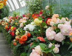 Christchurch Botanical gardens - Begonia house