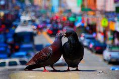 Całujące się gołębie