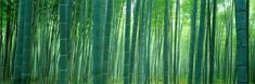Bamboo Forest, Sagano, Kyoto, Japan Wall Decal by Panoramic Images at AllPosters.com