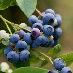 Blueberry 'Earliblue' - Blueberry Plants - Thompson & Morgan - Plant multiple varieties of blueberry to lengthen the season and increase fruit production.