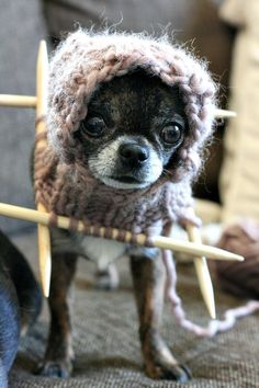 I'm doing my own knitting right?!  from www.kera.fi /facebook #chihuahua