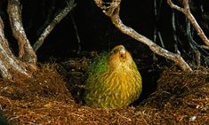 Happy Chubby Kakapo