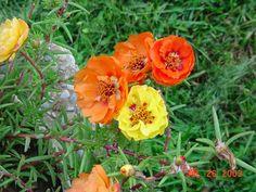 portulaca or as I call them ....moss roses