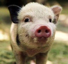 I don't care what anyone says.. I will always want one of these stinkers. #piglet