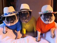 Retired Pugs from Winter Park, Florida?? what cutie pies