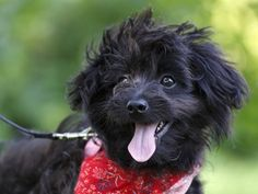 Woofa is an adoptable female Pomeranian/ Poodle mix in Ile Perrot, QC.