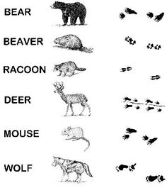 Match the animal to their tracks. NIAC Kids Corner - Nipmuc Indian Association of Connecticut Kindergarten Science, Kindergarten Worksheets, Preschool, Forest Animals, Woodland Animals, Arctic Animals, Zoo Animals, Wild Animals, Canadian Animals