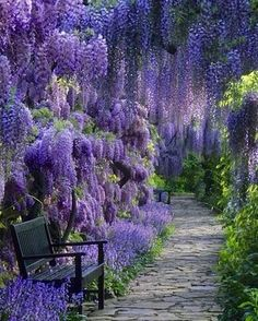 Wisteria, so beautiful
