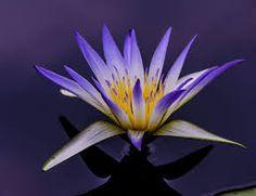 58 Best Egyptian Blue Lotus Images In 2015 Lotus Blue Lotus Egyptian