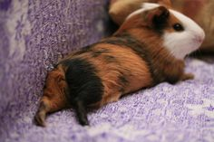 02/12/2015: I sees you checkin out mah bootay! Guniea Pig, Cute Piggies, Cavy, Little Pigs, Little Critter, Rodents, Hamsters, Baby Animals, Animals And Pets