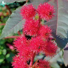 A ricinust (Ricinus communis) - más nevén csodafát Magyarországon is ültetik dísznövényként dekoratív kinézete miatt. A ricinusolaj hashajtó hatása miatt székrekedés és műtéti előkészítések során használható. Emellett hajápolószerek kedvelt összetevője. Magja tarka-barka babhoz hasonlít, ami azonban két rendkívül mérgező anyagot is tartalmaz, ricint és ricinint. Ezeket a ricinusolaj előállítása során eltávolítják. Retinol Creme, Mascara, Irene, Plants, Hair Roots, Fungal Infection, Beauty Routines, Mascaras, Planters