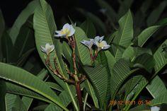 Fragipanni Plant Leaves, Plants, Plant, Planets