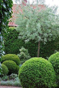 Pyrus salicifolia pendule-combo of rounded shrubs with tree-love the green contrasts Garden Shrubs, Garden Trees, Garden Landscaping, Small City Garden, Dream Garden, Back Gardens, Small Gardens, Formal Gardens, Outdoor Gardens