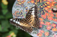 vlinders aug 2011 023