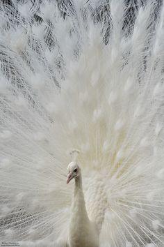 White Peacock...