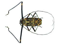 Longhorn Beetle, Natural World, Creatures, Beetles, Schmidt, Grande, Delicate, Flowers, Insects