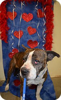 Bryan, TX - Boxer. Meet JENKINS, a dog for adoption. http://www.adoptapet.com/pet/14812869-bryan-texas-boxer